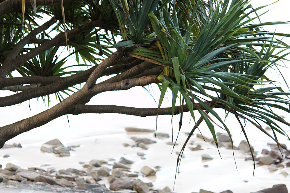 yamba-palm